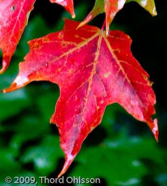 klorofyll röda blad